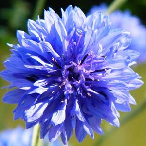 矢車菊藍色的 天然藍寶石